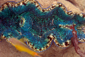 Blue clam in Palau